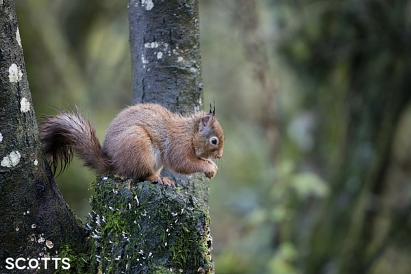 red squirrel in Scotland - photographing one should be on your travel bucket list