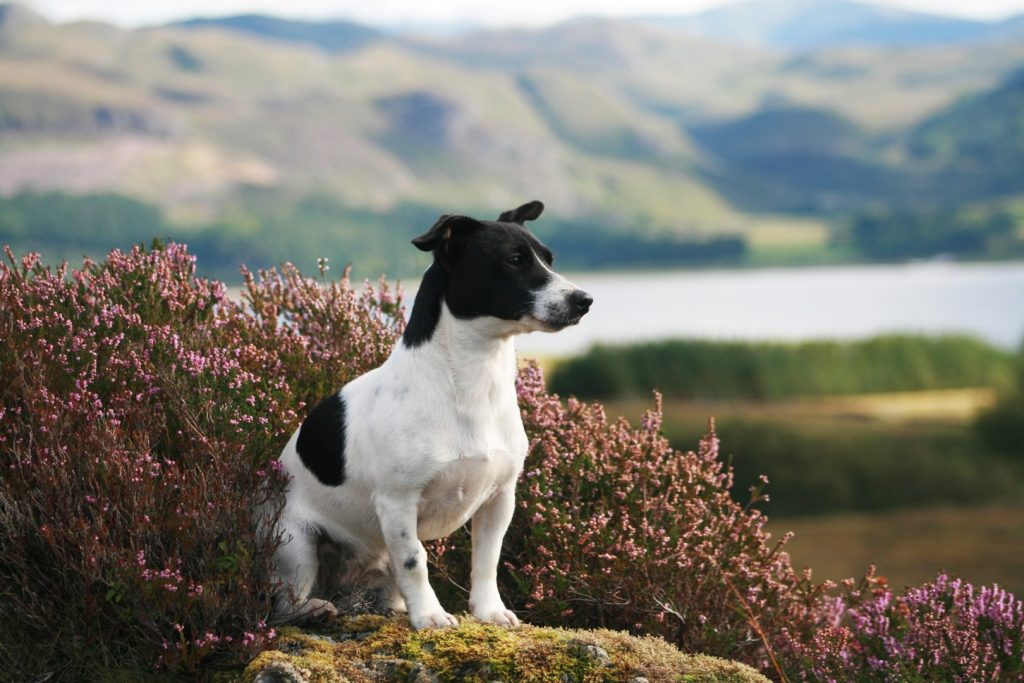 Jack Russell dog sitting amongst heather with hills and loch in the background