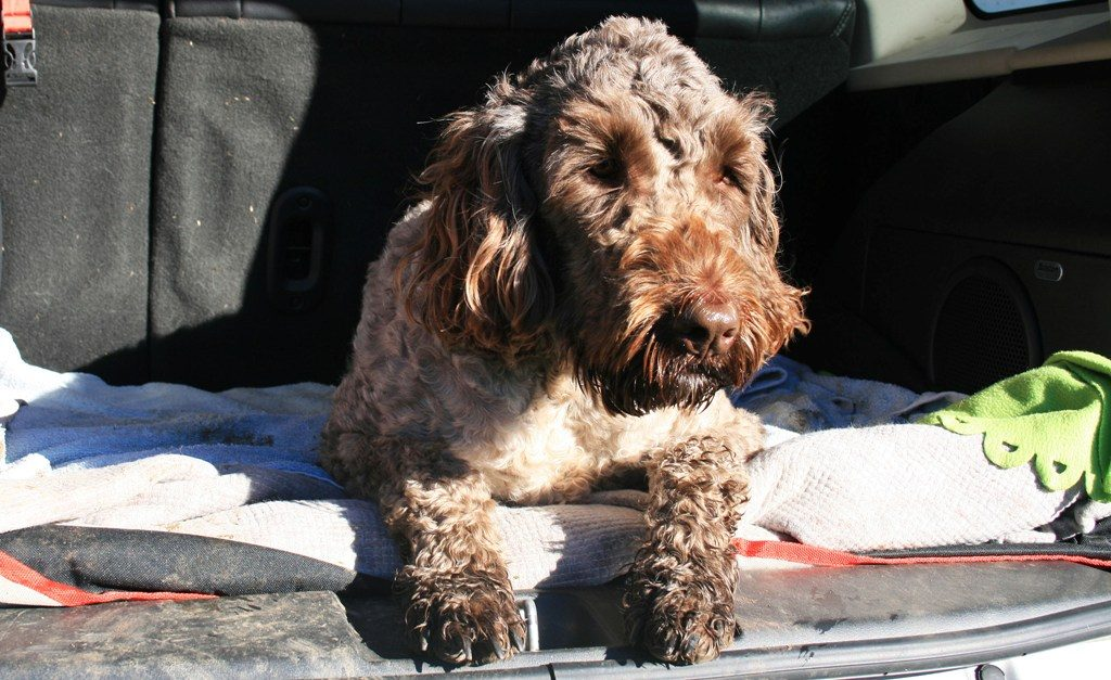 Cockapoo dog (spaniel crossed with a poodle) sitting patiently in the boot of an estate with the tailgate open
