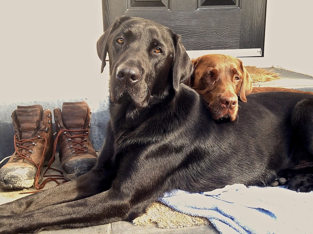 A large black labrador dog and a smaller light brown labrador dog sitting together in front of the entrance to a holiday home